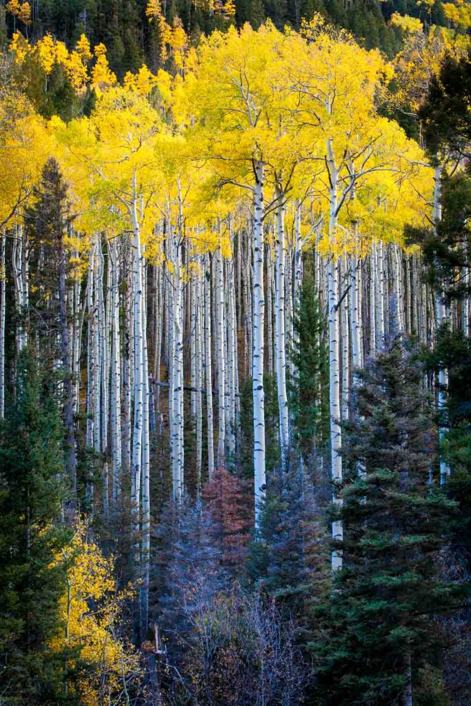 Aspen: Northern Sangre de Christo Mtns, New Mexico | Photo by Nelson Guda © 2019