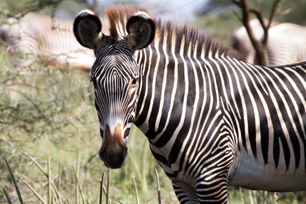 Grevy's Zebra, Samburuland, Northern Kenya   Photo by Nelson Guda © 2019