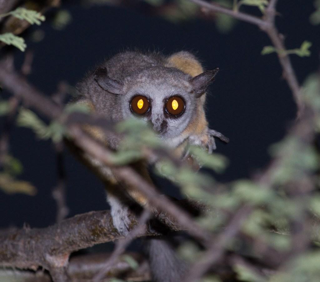 Nighttime visitor, northern Kenya | Photo by Nelson Guda © 2019