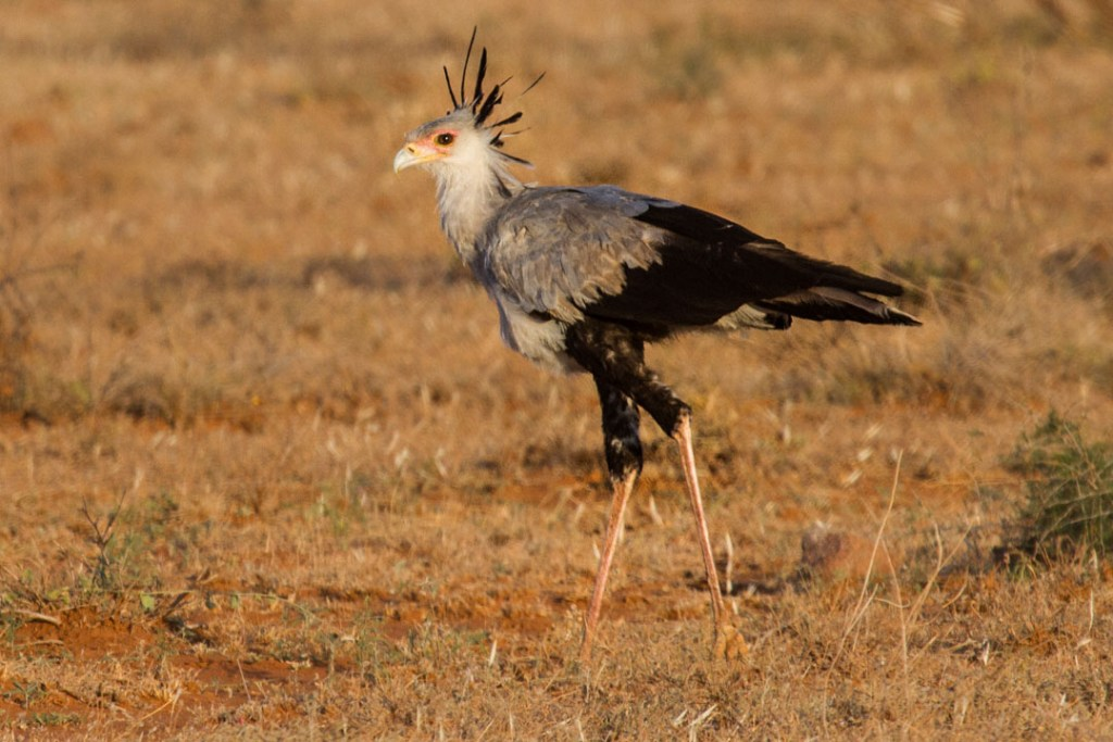 Secretary bird, Northern Kenya | Photo by Nelson Guda © 2019