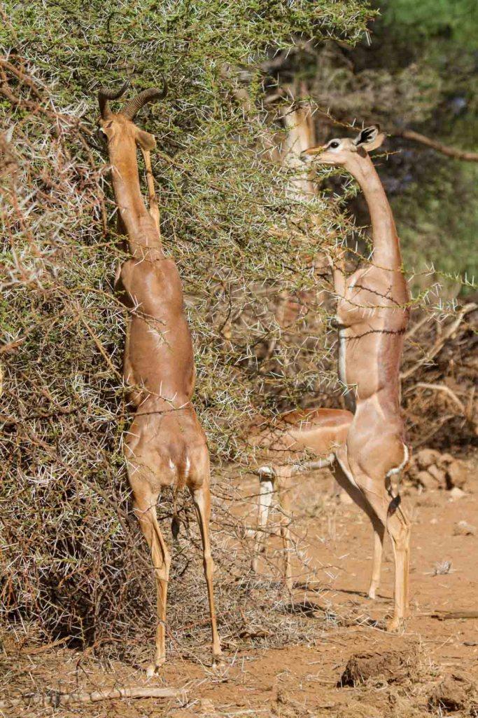 Gerenbok grazing in Northern Kenya | Photo by Nelson Guda © 2019