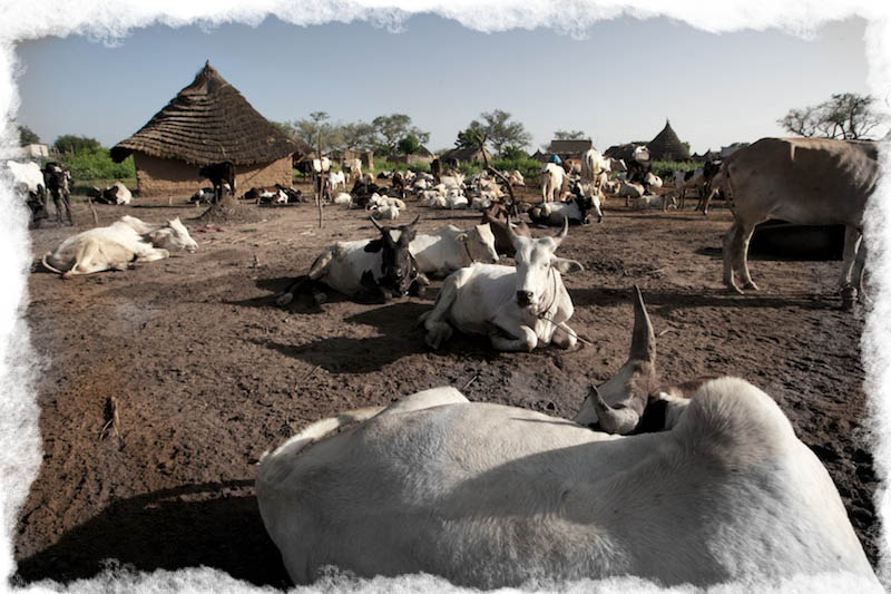 Cows in Wanjyok, S. Sudan