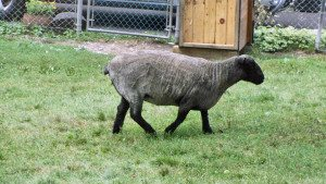 Black sheep in Portsmouth New Hampshire