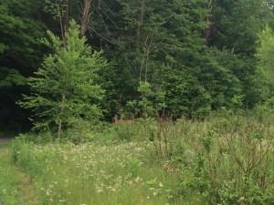 Deer in Gatineau Park