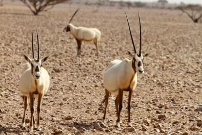 Die Arabische Oryx Antilope