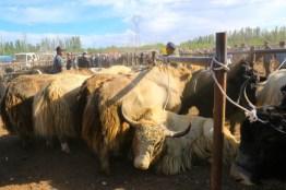 Yaks auf dem Tiermarkt