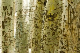 Eingeritzte (Liebes-)botschaften in Bäumen