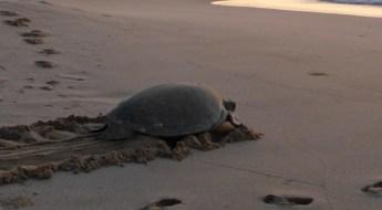 Oman: Schildkröte am Strand bei Ras Al Jinz