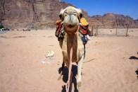 Das freundliche Kamel ist bereit loszugehen