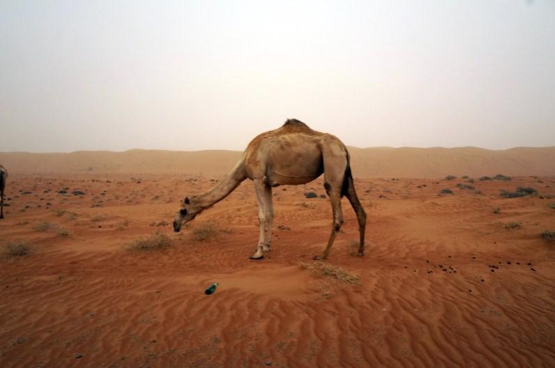 Auf dem Weg zum Wüstencamp auf Kamelsichtung gehen