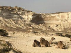Dromedare Wadi Shuwaymiah