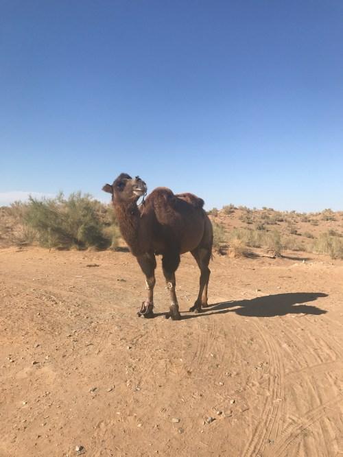 Kamel in der Kyzlkum