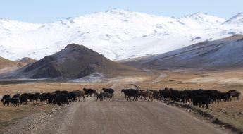 Eine Rinderherde überquert die Straße