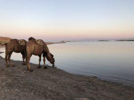 Kamele erfrischen sich an einem See