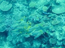 Heron Island - Schwarm Fische