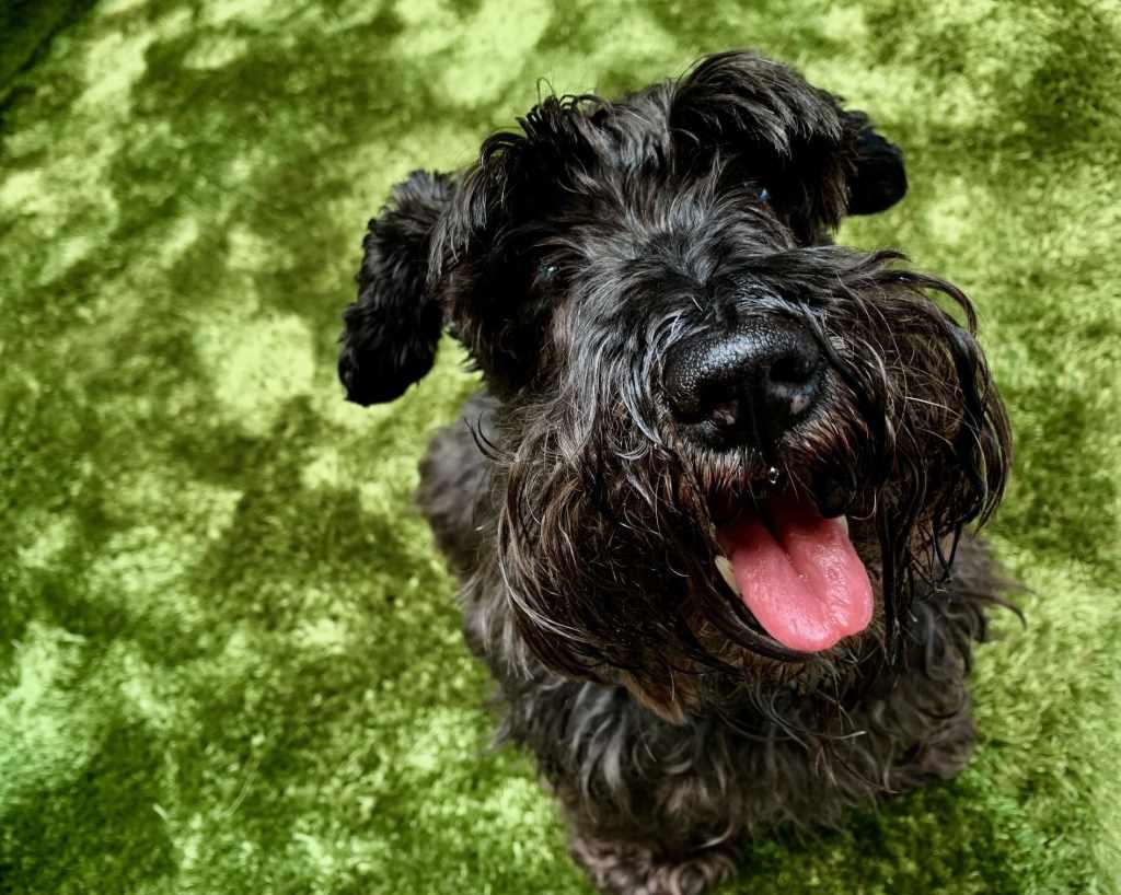 Pequeño perro negro de raza Schnauzer sentado en alfombra color verde ¿cuánto cuesta tener una mascota?
