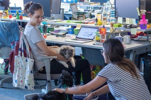 Cachorros no escritório: uma mulher está sentada na cadeira com um cachorro cinca no colo. Ela olha para outro cachorro no chão, que está recebendo carinho de uma outra mulher.