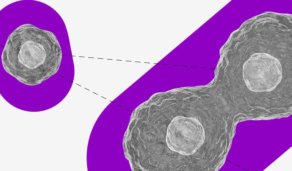 No fundo branco, uma célula preta e branca se transforma em duas. Ambas estão sobre um fundo roxo.