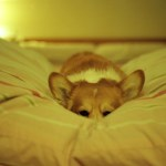 Photo of a bored dog in bed