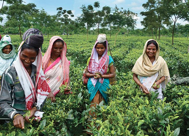 tea farmers on fair trade assam tea farm