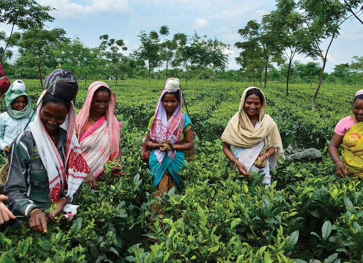 tea farmers picking tea leaves in Assam, India