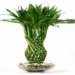 Its Easy To Care Your Lucky Bamboo Plant Blog Nurserylive Com Gardening In India