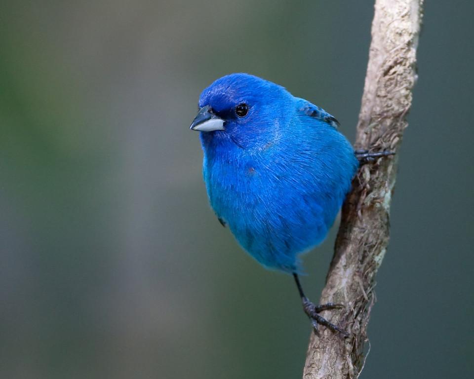Colorado Birds Colored Blue