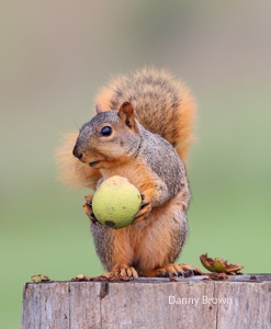 Image result for squirrel with walnut