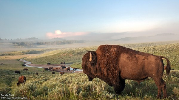 Adopt an Icon of the American West: Help Bison Today • The ...