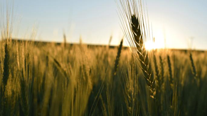 Blog O Agro - doenças do trigo