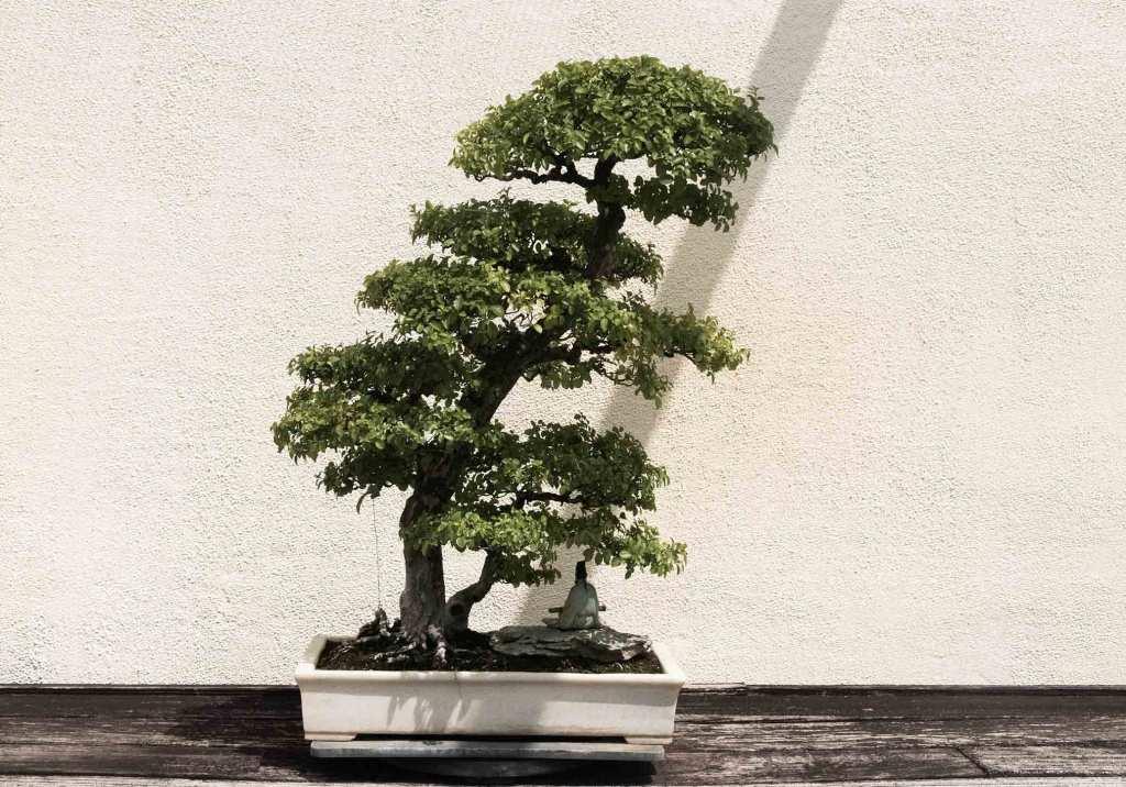 Como cuidar de um bonsai: 8 dicas chave title