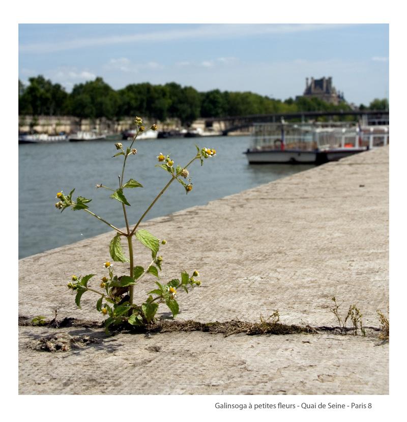 6-Galinsoga-Petites-fleursParis8bis