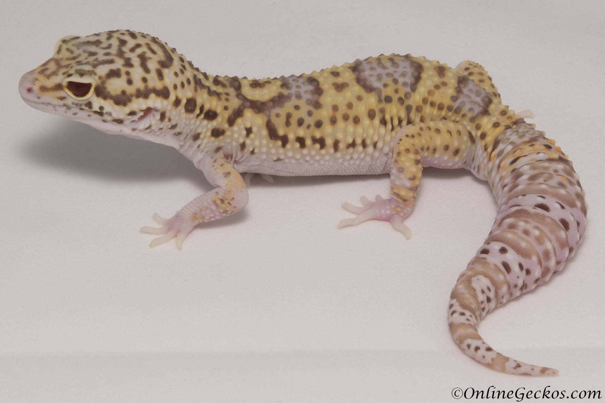 Gecko Time A Blog About Geckos Search Leopard Gecko Morph Special