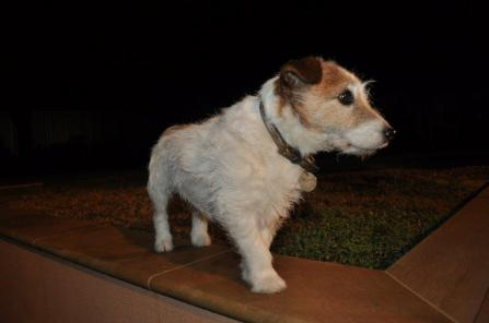 """This is our lovely Bryson who is sixteen years old. Bryson is a """"failed"""" show dog on account of his legs being """"too short"""" according to Jack Russell dog show judges; lucky for us as we were able to adopt him when he was two. I'm sure you will agree he is very handsome. - Heather"""