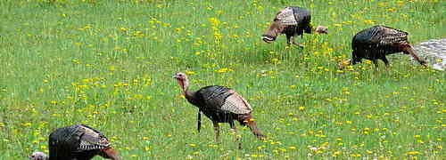 Interesting Facts about Turkeys