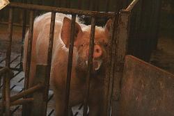 explotacion de cerdos