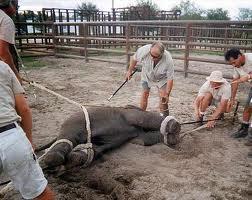 captura elefante
