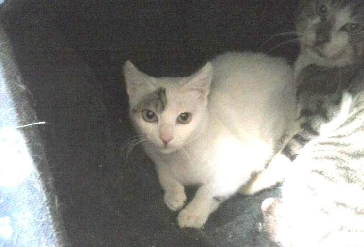 Uno de los gatitos rescatados en su casa de adopción