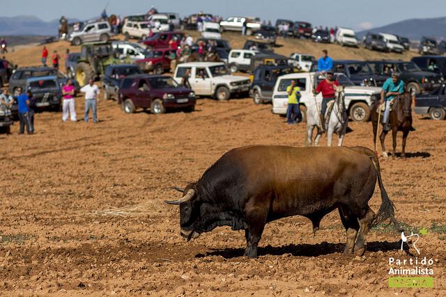 Un toro cabizbajo y agotado con la lengua fuera se para. Detrás de él, decenas de coches, motos y caballistas le observan.