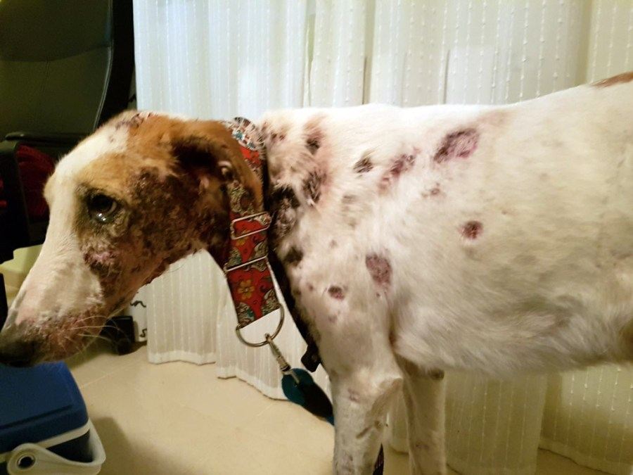 Bruno, rescatado por Galgos del Sur con el cuerpo lleno de disparos