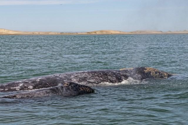 gray whale watching baja california mexico