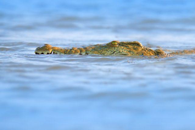 most epic dive adventures botswana crocodile diving
