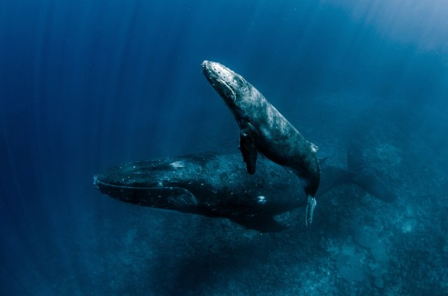 most epic dive adventures swimming with humpback whales in tonga