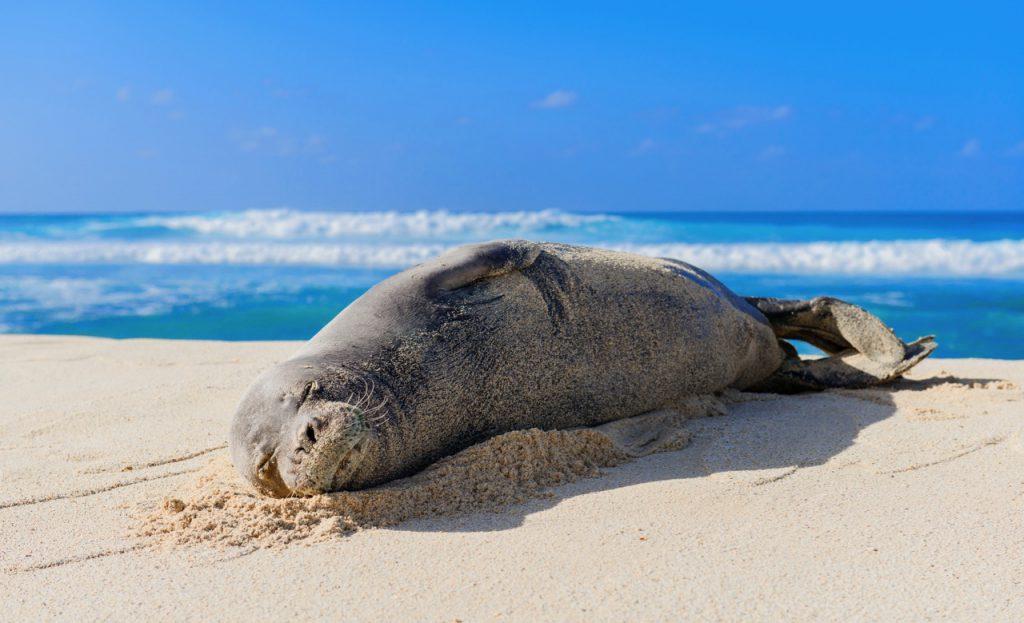 monk seals in hawaii scuba diving