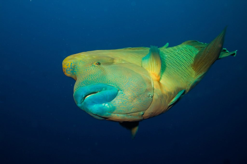 diving with napoleonfish in pohnpei