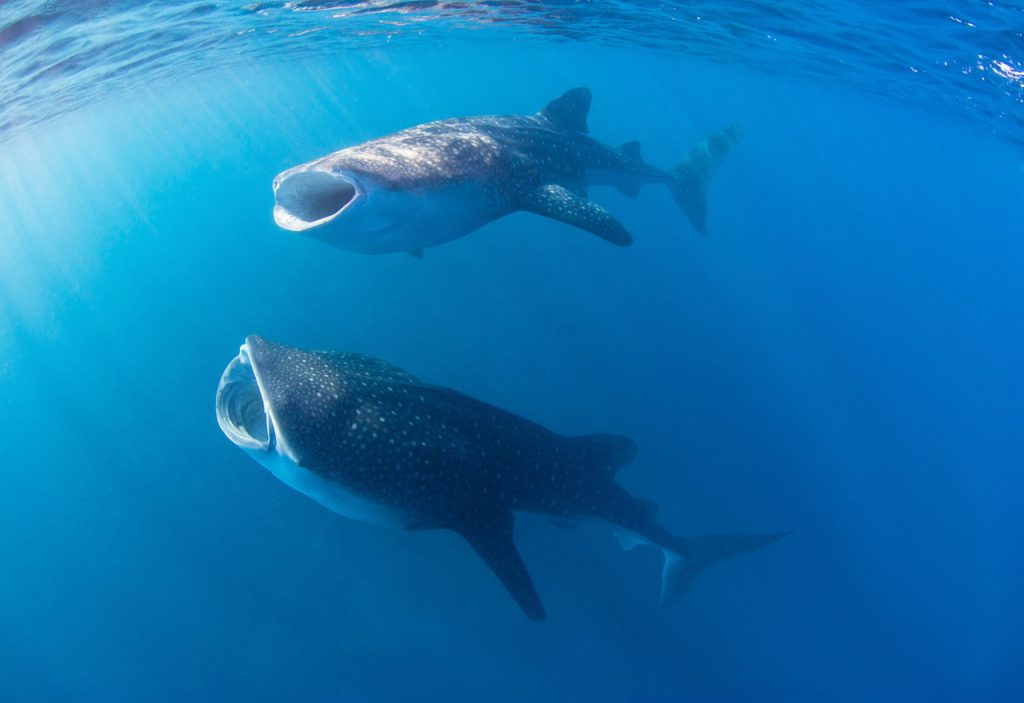 diving with whale sharks in the maldives