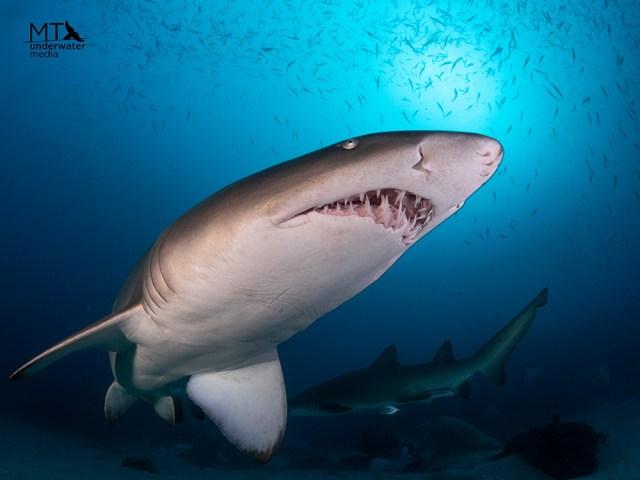 South West Rocks - New South Wales - Grey Nurse Shark - - Matt Testoni - Underwater Photography