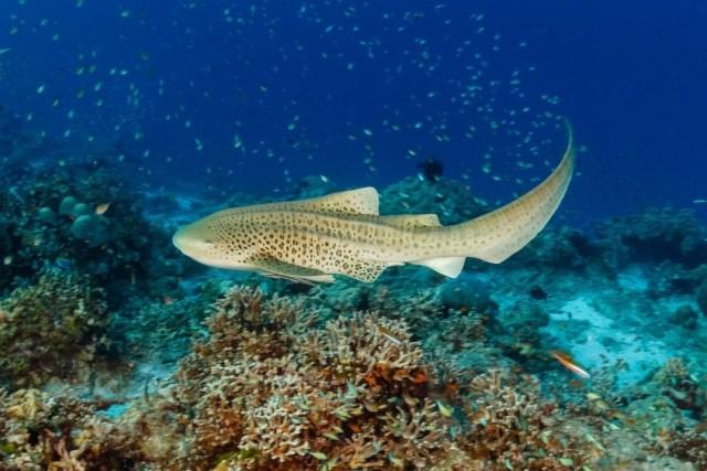 Leopard Shark - Zebra Shark - Underwater