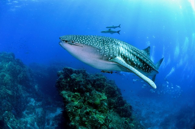 scuba diving calendar may whale shark
