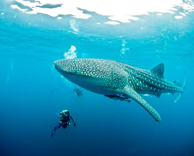 why book with padi travel whale shark indonesia